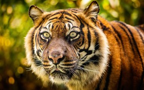 Picture look, face, tiger, wild cat