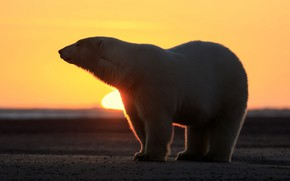 Picture WHITE, HORIZON, WOOL, FUR, BEAR, SUNSET, DAWN, SILHOUETTE