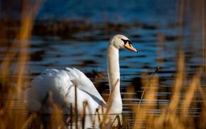 Picture white, light, bird, Swan, bokeh