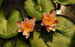 Picture leaves, Lily, Flowers, flowering