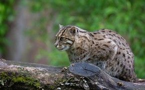 Picture greens, cat, look, face, background, log, wild cat, Fisher cat