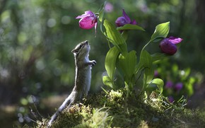 Picture flowers, nature, Chipmunk, Yevgeny Levin