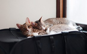 Picture cats, comfort, cats, pair, bag, a couple, two, lie