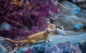 Picture mountains, stones, mouse, hunting, weasel, mining, The Himalayas, ferret, ermine