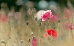 Picture field, summer, light, flowers, nature, glare, glade, Mac, Maki, blur, meadow, red, pink, bokeh