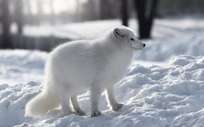 Picture winter, forest, white, look, snow, trees, nature, the snow, profile, Fox, bokeh