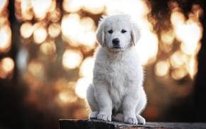 Picture white, dog, puppy, sitting, bokeh, Retriever