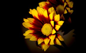 Wallpaper macro, light, flowers, bright, yellow, petals, black background, orange, composition, fire, two-tone, gazania