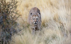 Picture field, grass, look, Puma, sneaks, Cougar