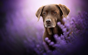 Picture look, face, flowers, dog, lavender, bokeh, Labrador Retriever