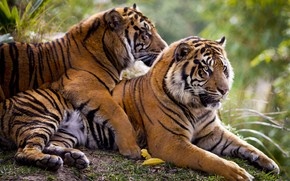 Wallpaper feelings, tigers, pair