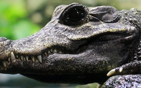 Picture crocodile, teeth, breeding, black eye