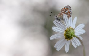 Picture white, flower, macro, butterfly, petals, Daisy, insect, light background, brown, bokeh