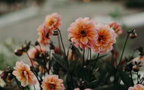 Picture flowers, orange, dahlias