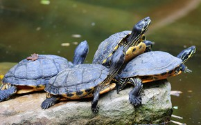 Picture stone, turtle, company, pond, turtles, water, Quartet, turtles, water, water