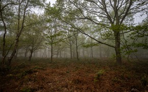 Picture forest, the sky, grass, leaves, trees, nature, fog, overcast