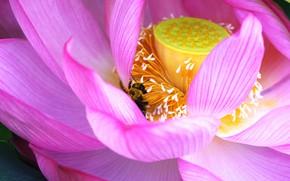 Picture macro, bee, Lotus