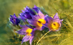 Picture macro, flowers, spring, lilac, anemones, cross