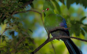 Picture greens, bird, branch, Turako, Шлемоносный турако