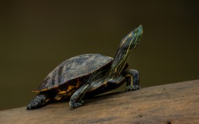 Picture pose, the dark background, turtle, bug, water, water