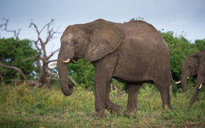 Picture grass, nature, elephant