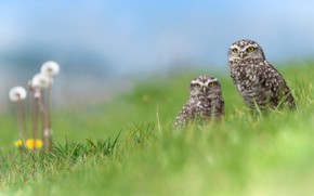 Picture greens, grass, flowers, birds, nature, owl, two, spring, pair, dandelions, owls, a couple, Duo, two, ...