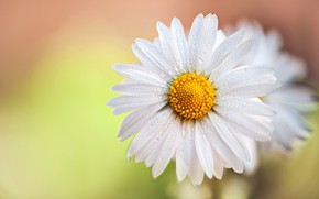 Picture drops, macro, background, petals, Daisy