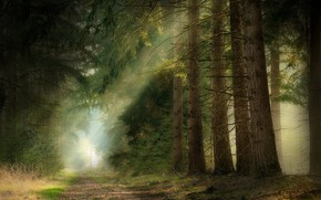 Picture forest, rays, light, branches, nature, fog, needles, path