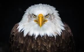 Picture eagle, bird, eagle, look, beak