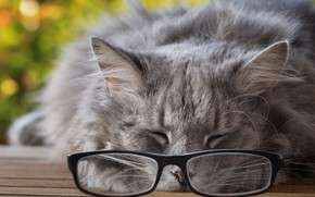 Picture cat, cat, face, pose, grey, background, stay, sleep, glasses, sleeping, lies, grey, bokeh, fluffy, closed …