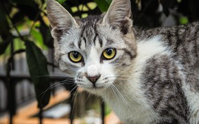 Picture cat, cat, look, leaves, kitty, background, the fence, portrait, kitty, green eyes, grey with white