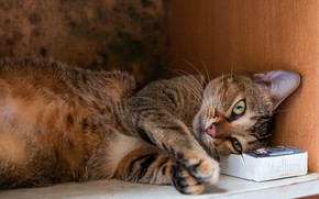 Picture cat, cat, face, pose, grey, background, box, stay, paws, shelf, lies, box, brown, striped, the …