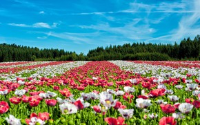 Picture forest, summer, landscape, flowers, nature, Maki, ate, colorful, the ranks, plantation, blue sky, poppy field