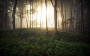 Picture forest, light, fog, morning