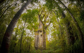 Picture new Zealand Kauri, forest Waipoua, The Main Forest, New Zealand, agaetis South, giant tree