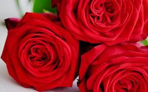 Picture macro, roses, red, trio, al