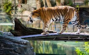 Picture water, light, tiger, pose, pond, stones, walk, log, the bridge, pond, zoo