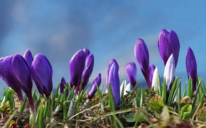 Picture flowers, glade, spring, purple, crocuses, buds, blue background, lilac