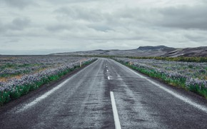 Picture road, field, flowers, South, Iceland, Rangárvallahreppur