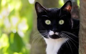 Picture cat, cat, look, face, light, background, black, portrait, green eyes, Kote, bokeh