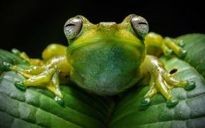 Picture eyes, look, macro, leaf, frog, legs, black background, green
