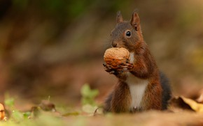 Picture nature, animal, walnut, protein, animal, rodent