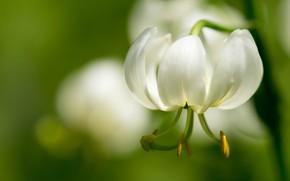 Picture macro, Lily, petals, stamens, white, bokeh