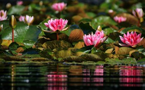 Picture light, flowers, pond, reflection, pink, water lilies, pond, bokeh, water lilies, nymphs