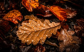Picture autumn, leaves, drops, the dark background, oak, autumn leaves