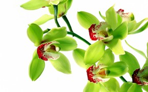 Picture flowers, background, orchids
