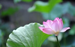Picture nature, petals, Lotus