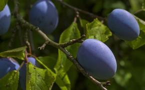 Picture branches, fruit, plum, drain, prunes