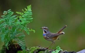 Picture bird, bird, Bluethroat