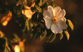 Picture flowers, the dark background, branch, light, garden, white, flower, leaves, briar, Bush